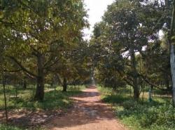 ขายที่ดินสวนทุเรียน 375 ไร่ ที่ดินเพื่อการเกษตร มีผลผลิต น้ำ-ไฟครบ ในอำเภอแกลง ระยองใกล้แหล่งชุมชน